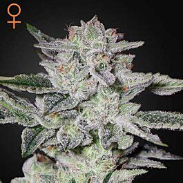 Sweet Valley Kush - Green House Seeds
