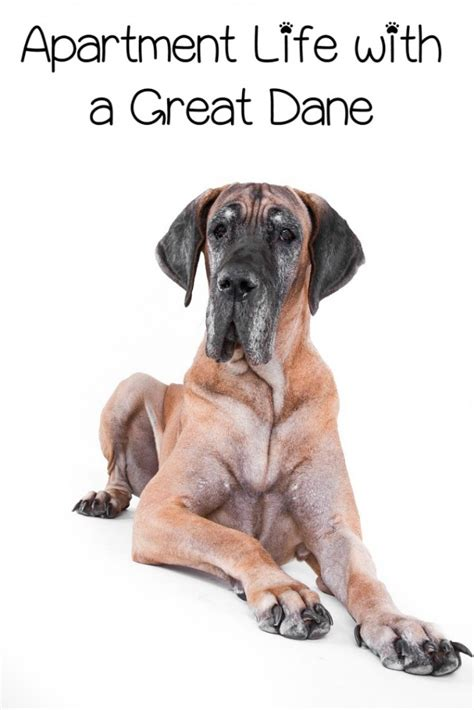 Apartment Living with a Great Dane - DogVills